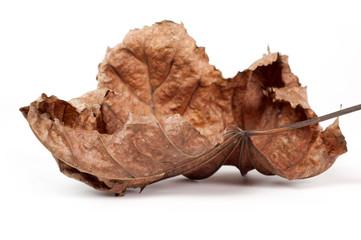 foglie dell'acero