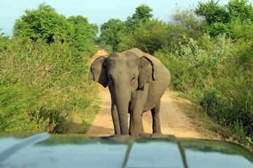 Elephant Blocking the Road, Uda Walawe National Park, Sri Lanka