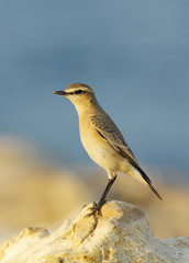 Closer look of Isabelline Wheatear