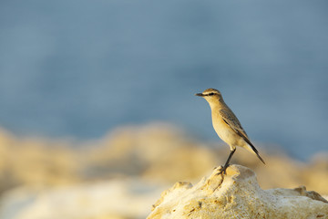 Isabelline Wheatear in the coast of Bahrain
