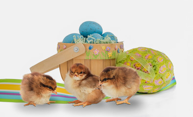 Trio of baby chicks with an Easter basket and eggs