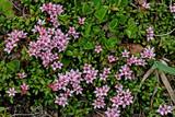 azalea nana; loiseleuria procumbens