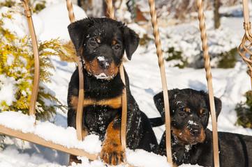 Szczeniaki rottweilerów w zimie