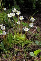 pinguicola bianca (pinguicula alpina)
