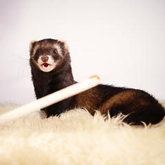 Ferret like a weasel