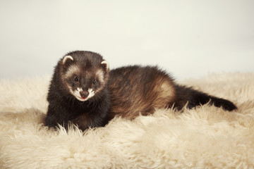 Young ferret male