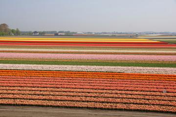 Tulpenblüte, Holland