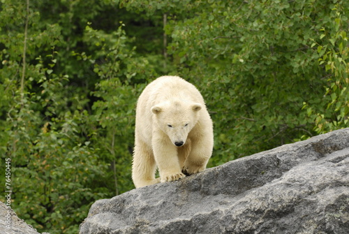 Deurstickers Ijsbeer polar bear walking on rocks