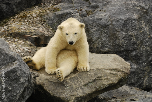 Tuinposter Ijsbeer polar bear sitting on a rock