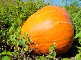 Pumpkin plants with rich harvest on a field ready to be harveste