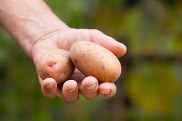 Old man hand with Fresh harvested potatoes on green background