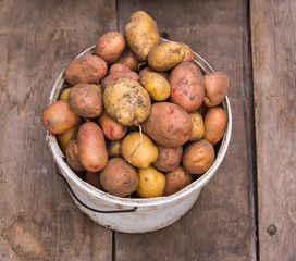 Fresh harvested potatoes in pail on a rough wooden palette.