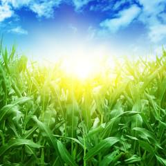 Green corn field,blue sky and sun.