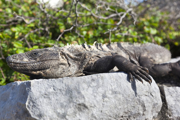 Iguana on Mexico ruins, Tulum, Mexico