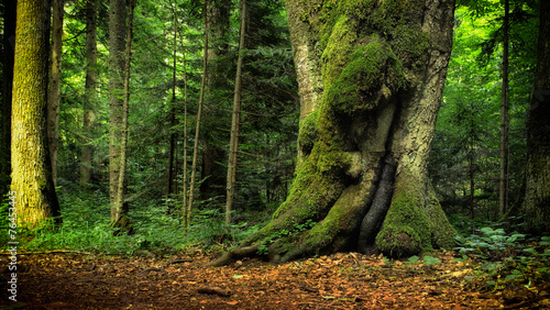 Fotobehang Betoverde Bos trees with moss