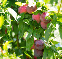 Plums on a tree closeup