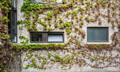 natural green climbing tree, plant wall with window