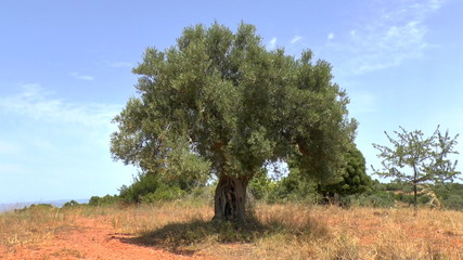 Olive tree with the sound of Cicadas