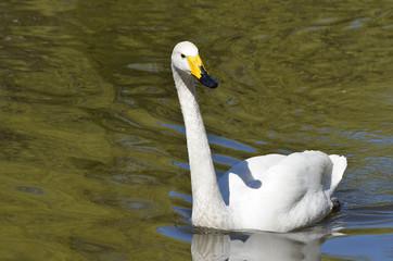 Белый лебедь плывёт по реке.