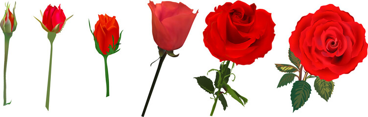 red rose flower blossoming stages isolated on white
