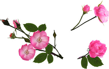 set of pink blossoming isolated briers