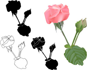different styles of  pink  rose isolated on white