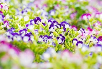 Torenia or Wishbone flowers in the garden