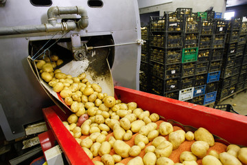 Cleaned potatoes on conveyor belt