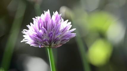 Schnittlauch, Nahaufnahme der Blüte