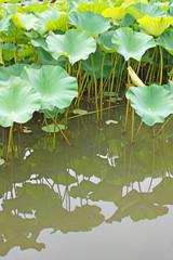 Lotusblätter im Wasser