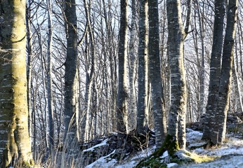birch trees in the snow-covered mountain in winter