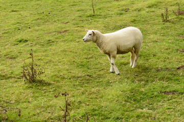 sheep in green grass near Bodian