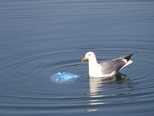 Great  Gull on the sea near a bag of rubbish