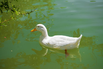 white duck swimming in a green pond