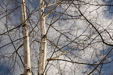 Beautiful birch trees in Winter
