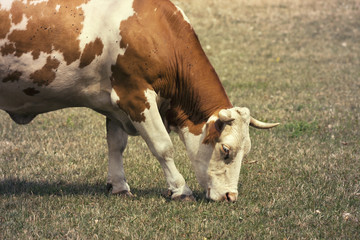 Hungry grazing cow