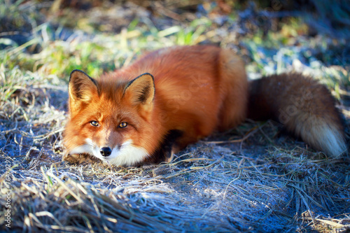 canvas print picture red fox