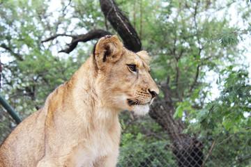 Lion female cub in profile