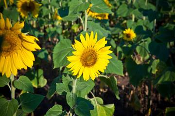 small sunflower closeup