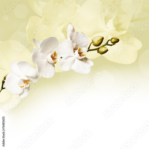 Beautiful white orchid - 76483655