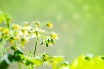 spring seedling plant of blooming young tomato on blur green bac
