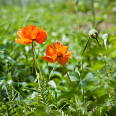 poppies blooming in the grass