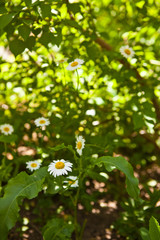 blooming daisy meadow