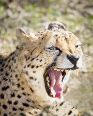 Growling Cheetah
