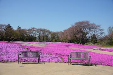 landscape with pink flowers, pink moss, shibazakura