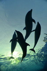 dolphin family swimming, underwater shot