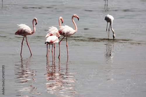 Foto op Aluminium Flamingo Flaminogs - Namibia