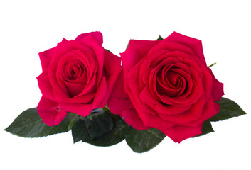 two dark pink roses