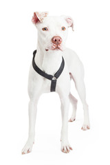 Dogo Argentino Dog Standing Looking Forward