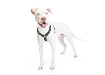 Dogo Argentino Dog Standing